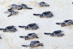 Baby turtles leaving the protected nest