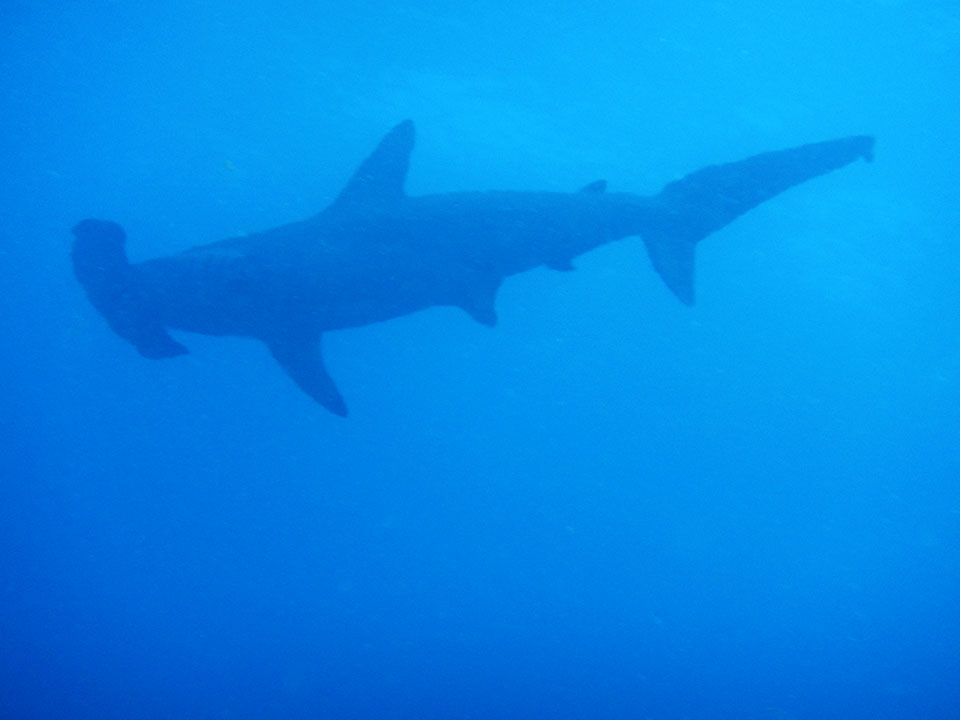 On the Wicked Adventures Hammerhead diving expedition - we got all pumped up for hammer time